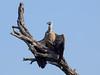 White-backed Vulture (Gyps africanus) Weißrückengeier (jaffles) Tags: southafrica südafrika krügernationalpark kruger np wildlife natur nature beautiful olympus safari