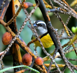 Bananaquit, Coereba flaveola