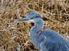 Graureiher Portrait (torremundo) Tags: reiher graureiher schilf greifensee herbst wildlife vögel wild natur fällanden