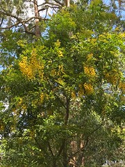 Cassia queenslandica - Yellow Shower (Black Diamond Images) Tags: cassia cassiaqueenslandica yellowshower caesalpiniaceae arfp qrfp tropicalarf marginalarfp arfflowers yellowarfflowers yellowfp rnrfgdb rnrfgdbarfp fabaceae