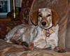 Amber Resting_0026 (smack53) Tags: smack53 dog pet amber animal creature allgodscreatures nikon d100 nikond100