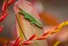 Green Anole Lizard (PaulBalfe) Tags: anolecarolinensis greenanole oahu hawaii greenlizard dolepineappleplantation