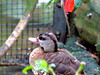 Spotted Whistling Duck (Dendrocygna guttata) at Lowry Park Zoo (Lee_D) Tags: fl lpz capt zoo