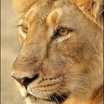 Asiatic lion (Panthera leo leo) @ Gir Forest National Park thumbnail