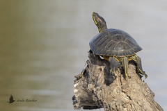 Galápago de Florida (Trachemys scripta elegans) (jsnchezyage) Tags: galápagodeflorida trachemysscriptaelegans jicoteaelegante tortugadeorejasrojas tortuga anfibio turtle animal naturaleza