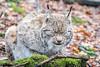 Sleepy lynx (A.Bruhin) Tags: langnauamalbis zürich schweiz ch lynx closes eyes sleeping outdoor nikon d500 105mm 28 wildpark langenberg