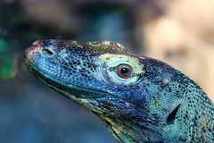 Eddie (stellagrimsdale) Tags: lizard eddie animal animallookingatyou coldblooded face eyes reptile scaly bokeh