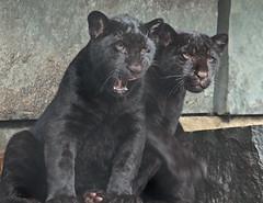 jaguar Artis BB2A8727 (j.a.kok) Tags: jaguar jaguarcub jaguarwelp blackjaguar zwartejaguar kat cat animal artis zoogdier dier zuidamerika southamerica predator pantheraonca mammal cub