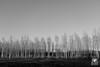 Betulle (andrea.prave) Tags: castellettodicuggiono castelletto parcodelticino lombardia lombardy natura nature 自然 eðli cuggiono birches betulle abedules birken 白樺 березы البتولا 桦树 tree woods bn bw blackandwhite biancoenero monocromo monocrome blancoynegro noiretblanc 黑色和白色 白黒 ਕਾਲਾਅਤੇਚਿੱਟਾ schwarzundweis черныйибелый pretoebranco zwartenwit μαύροκαιάσπρο أبيضوأسود שחורולבן ticino