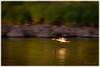 Småskrake - Red-breasted merganser (Mergus serrator) (Palmius Photo) Tags: mergusserrator redbreastedmerganser småskrake flying flyger bird fågel river wildlife nature natur älv water vatten