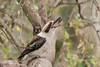 Kookaburra (down the hatch) (crispy1612) Tags: kookaburra kremur st boat ramp west albury nsw birdlife nikon d500 200500 f56