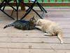 Kissing Cats (Stabbur's Master) Tags: cats kitty kitties lickingcats kissingcats