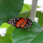 Heliconius Hecale Butterfly, Mangrove, Burgers Zoo, Netherlands - 5406 thumbnail