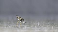 Birding Calgary- Lesser or Greater Yellowlegs (Chantal Jacques Photography) Tags: lesseryellowlegs greateryellowlegs bokeh wildandfree depthoffield bluehour