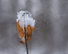 snowy day (marianna_a.) Tags: snow storm falling dry beech leaves macro bokeh winter mariannaarmata p1690085 plant nature composite snowflakes