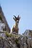 Timidezza.  Shyness. (omar.flumignan) Tags: ibex young giovane stambecco timidezza shyness montasio altipiano plateau fvg friuliveneziagiulia canon 7d ef100400f4556lisusm montagna mountain ngc forcadeidistesis