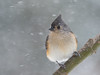 Snow day (JEO126) Tags: bomb cyclone tufted titmouse blizzard snow