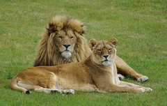 Lion and Lioness (Kerry711) Tags: sony a77 alpha lion lioness big cat wild animal yorkshire wildlife park doncaster southyorkshire england