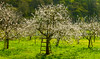 Orchard (Walter Quirtmair) Tags: ifttt 500px spring tree white green garden panorama austria orchard blossom apricot bloom wachau quirtmair