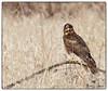 Northern Harrier at B. K. Leach Memorial Conservation Area - No. 2 (Nikon66) Tags: northernharrier harrier bkleachmemorialconservationarea lincolncounty missouri nikon d850 600mmnikkor