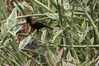 Copper Sunbird (Globalbirder) Tags: africa birds eastafrica tanzania kigoma coppersunbird bird cinnyriscupreus nectariniidae vogel