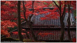 A roof lost in red maple, Kyorinbo garden, Shiga, Japan