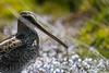 Fishing perles (Shawn Oc) Tags: bird italia italie france tourbière marais alpes bécassine des été montagne bokeh nikon d7100 nikkor 300mm pf ed vr f4 gallinago common snipe close up ngc