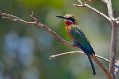 White-fronted Bee-eater (cirdantravels (Fons Buts)) Tags: merops beeeater bijeneter guêpier spint bullockoides meropidae coraciiformes kafue kaingusafarilodge coth5 sunrays5 specanimal ngc