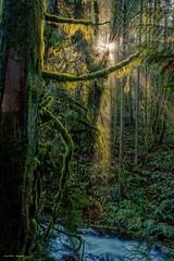 Faerie Forest (photobydave@gmail.com) Tags: gowllandtodpark todinlet todcreek trails forest sunburst sunrays vancouverisland britishcolumbia pacificnorthwest ferns moss cedartree elfin faerie tranquil serenity landscape brentwood saanichton saanich canada