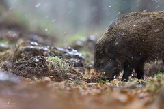 Hardy boar (Arron Roberts Photography) Tags: british uk mammal forestofdean forest snowing snow hardy wildlife nature wild boar canon