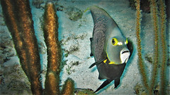 Angel (mikederrico69) Tags: fish angelfish closeup marine macro marinelife water underwater diving sealife sea ocean oceanlife biology exploration tropical summer plants plant