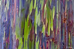 Eucalyptus arc-en-ciel (jmguay1) Tags: couleur arbre photoartistique trees color art nature macrodreams texture