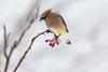 Cedar Waxwing (~ Paula B) Tags: cedarwaxwing birds newfoundland mountainashberries mountainash dogberries