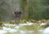 Wild Boar (Benjamin Joseph Andrew) Tags: mammal feral pig woodland forest winter running movement headon looking snow