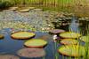 Pads in the pond (Neal3K) Tags: iowa ia reimangardens iowastateuniversity victoriawaterlilies pond aquatic waterplants