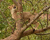 cheetah Cub In A Tree (Rackelh) Tags: cheetah cub baby babyanimal cat spots animal mammal zoo toronto canada