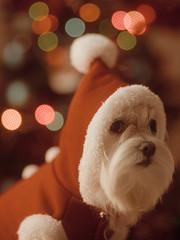 1406 - Santa Kira (Diego Rosato) Tags: santa kira babbo natale christmas xmas albero tree luci lights cani animali animals dogs pets rawtherapee nikon d700 85mm