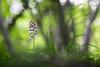 Vestige du printemps (Thomas Vanderheyden) Tags: orchis fleur flower orchidee bokeh flore flora nature macro proxi colors couleur green vert printemps thomasvanderheyden fujifilm samyang135mm