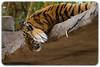 Young Sumatran Tiger (Panthera tigris sumatrae) (Craig Jewell Photography) Tags: pantheratigrissumatrae australia australiazoo beerwah queensland steveirwin sumatrantiger zoo f40 100300mm ¹⁄₃₂₀sec canoneos1dmarkiv iso800 126 20171228123804x0k0316cr2 noflash ‒²⁄₃ev