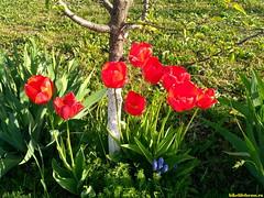 Цветут тюльпаны!