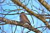 The Evil Eye (Neal D) Tags: bc surrey crescentbeach blackiespit bird northernflicker branch colaptesauratus