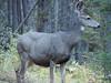 Deer (David R. Crowe) Tags: animal cervidaedeer mammal nature outdooractivities scrambling ungulate banff alberta canada