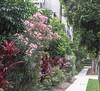 An avenue of beauty (idunbarreid) Tags: avenue oleander