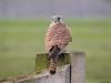 Common Kestrel (Corine Bliek) Tags: falcotinnunculus bird birds vogel vogels roofvogel prey nature natuur wildlife