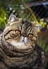 Maggie (Ál Men-chez) Tags: retrato exotico felino posado animal mascotas