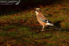 Irish Jay (Garrulus glandarius hibernicus) (gcampbellphoto) Tags: irish jay garrulus glandarius hibernicus bird corvid nature wildlife wood woodland gcampbellphoto outdoor animal