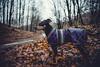 Akira - Bökesjön runt - WEB (manuel ek) Tags: nature sweden häckeberga naturreservat nikon manuelekphoto sigma forest dog hund perro hound pinscher