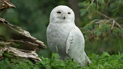 Snowy Owl (Kim's Pics :)) Tags: snowyowl bird white feathers handsome standing green grass woodlandsetting content peaceful assiniboinezoo winnipeg manitoba canada ngc npc cc