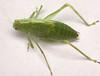 female greater angle-wing katydid nymph (ophis) Tags: orthoptera ensifera tettigoniidea tettigoniidae phaneropterinae microcentrum microcentrumrhombifolium greateranglewingkatydid nymph
