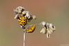 Gossiping Ladies (Vie Lipowski) Tags: ladybug ladybird ladybeetle queenanneslace daucuscarota wildcarrot birdsnest bishopslace insect bug beetle seed seedpod weed wildlife nature macro